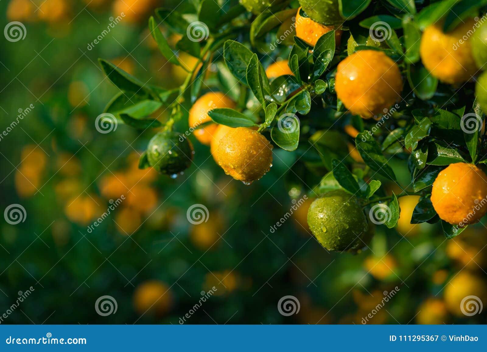 Kumquat, o símbolo do ano novo lunar vietnamiano Em quase cada agregado familiar, as compras cruciais para Tet incluem o pêssego