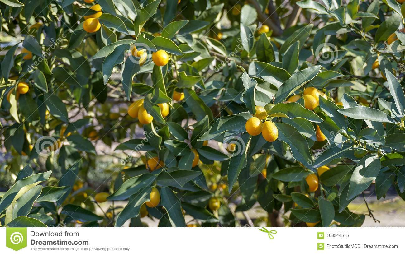 kumquat tree closeup 4 stock image image of china 108344515
