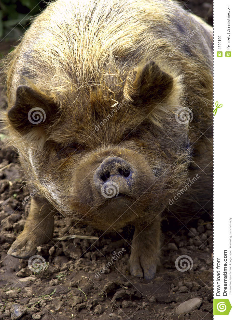 kuna kuna pig stock photo image 4390190 farm animals clipart black and white farm animals clip art for cnc