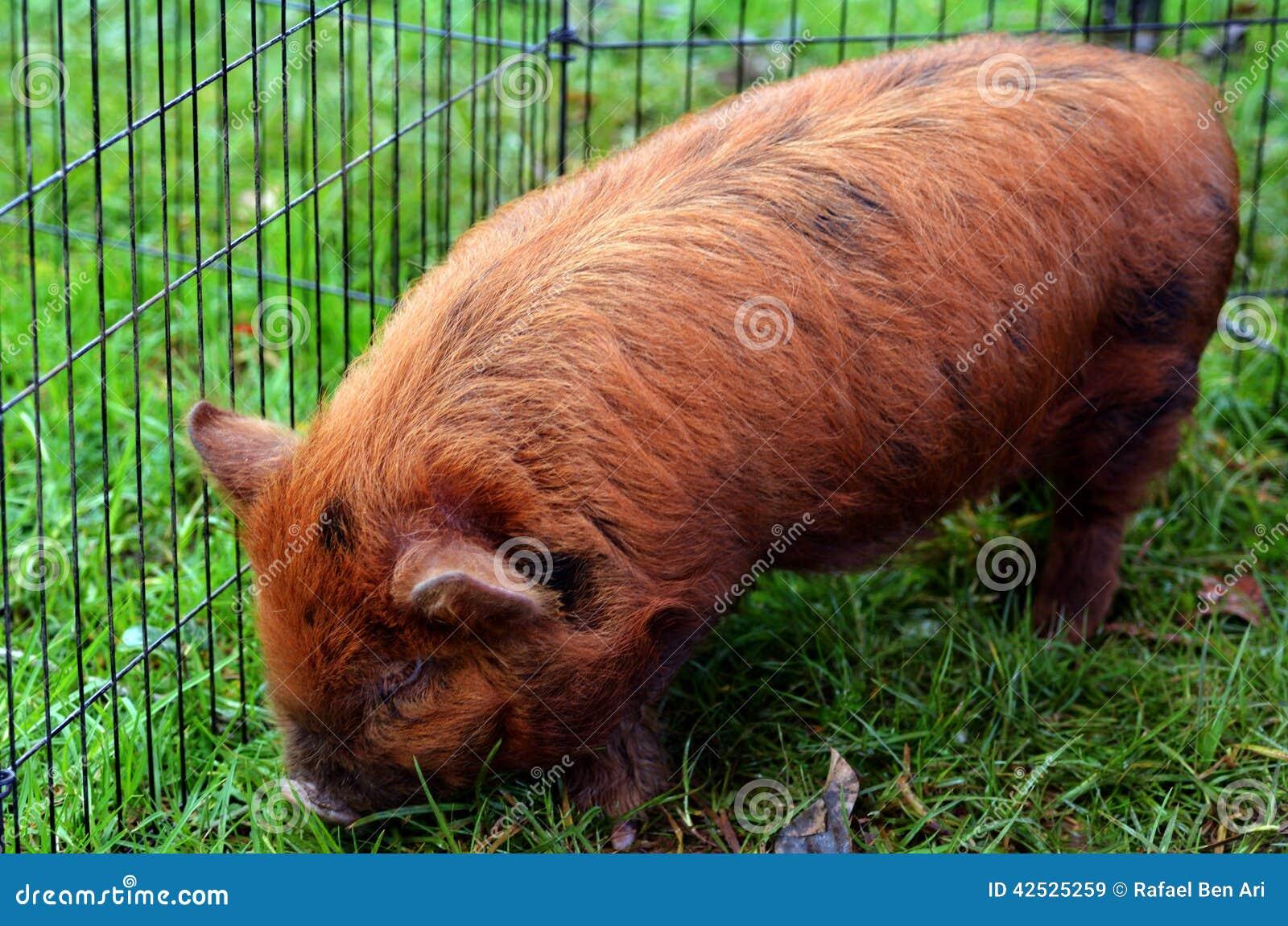 Kune świnia