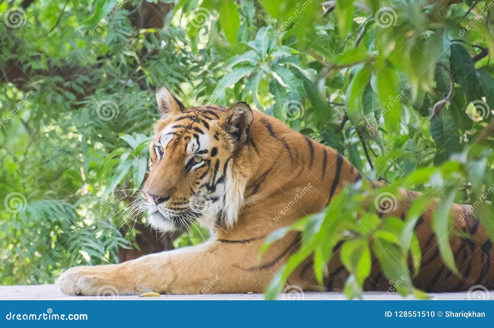 Kungligt sammanträde för Bengal tiger