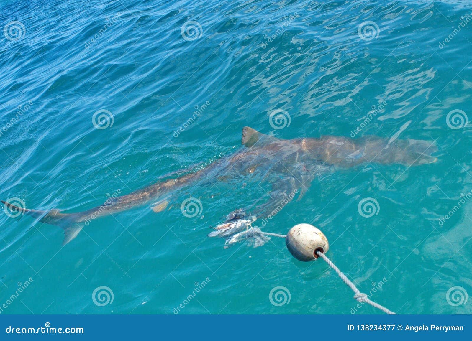 Kupferner Haifisch an der Oberfläche