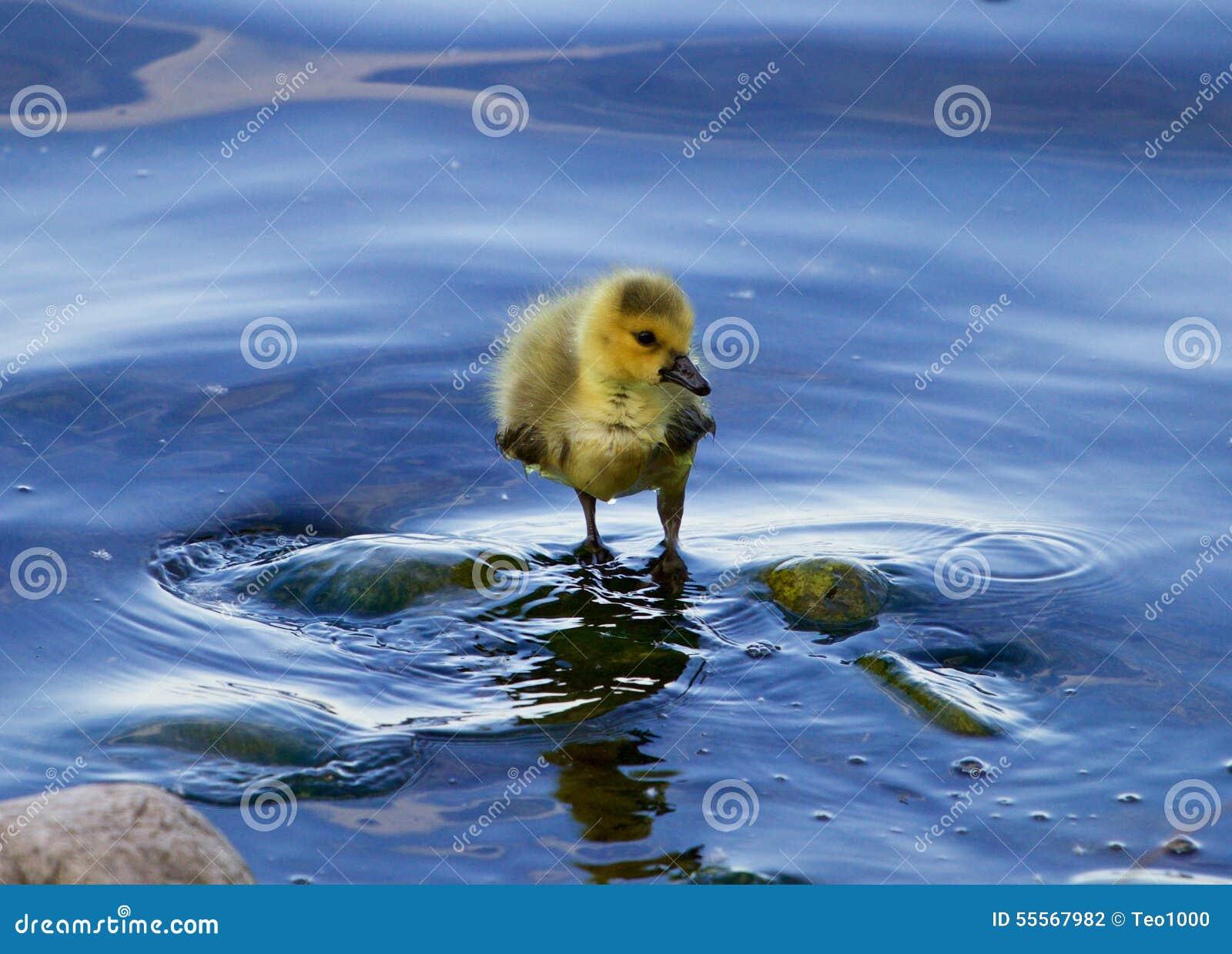 Kurczątko gąska w wodzie wyłącznie