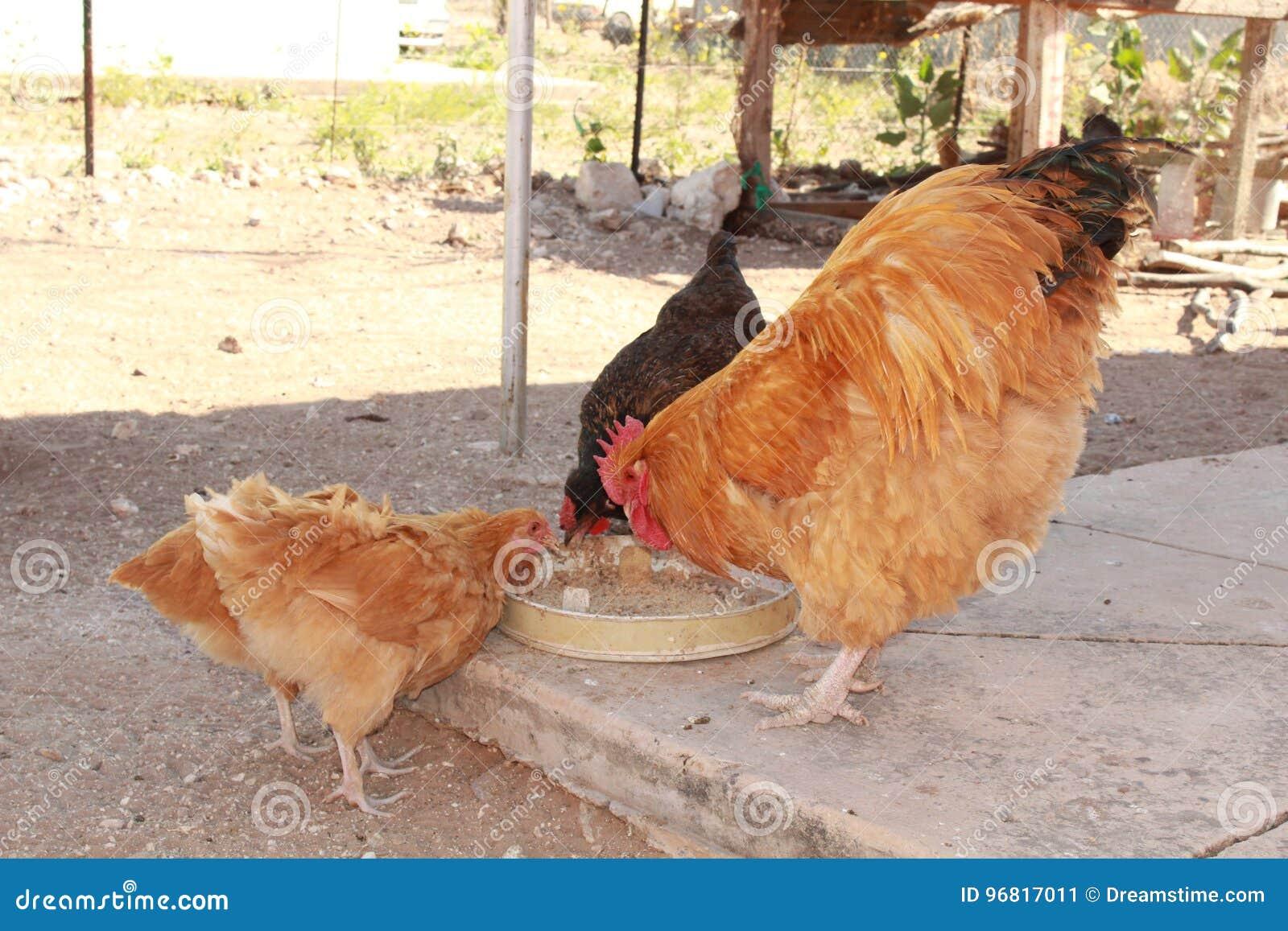 Kurczaków karmić