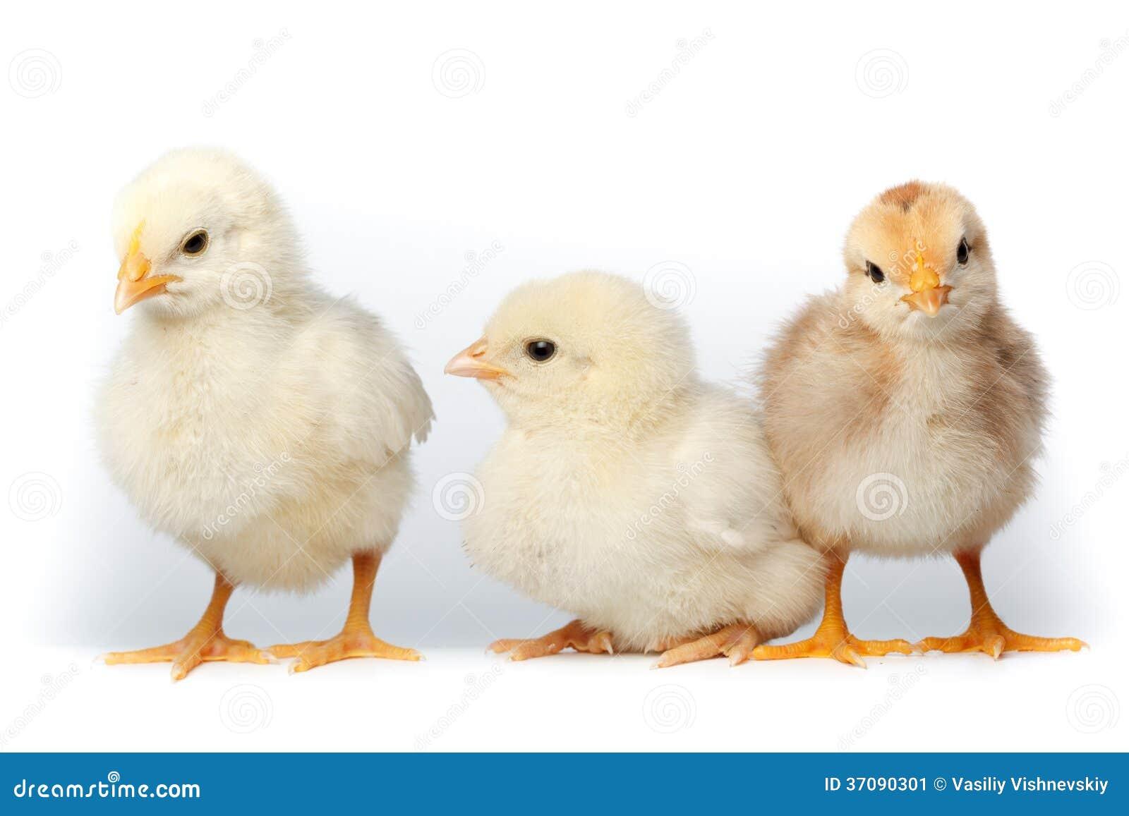 Download Kurczak obraz stock. Obraz złożonej z szklarnie, grupa - 37090301