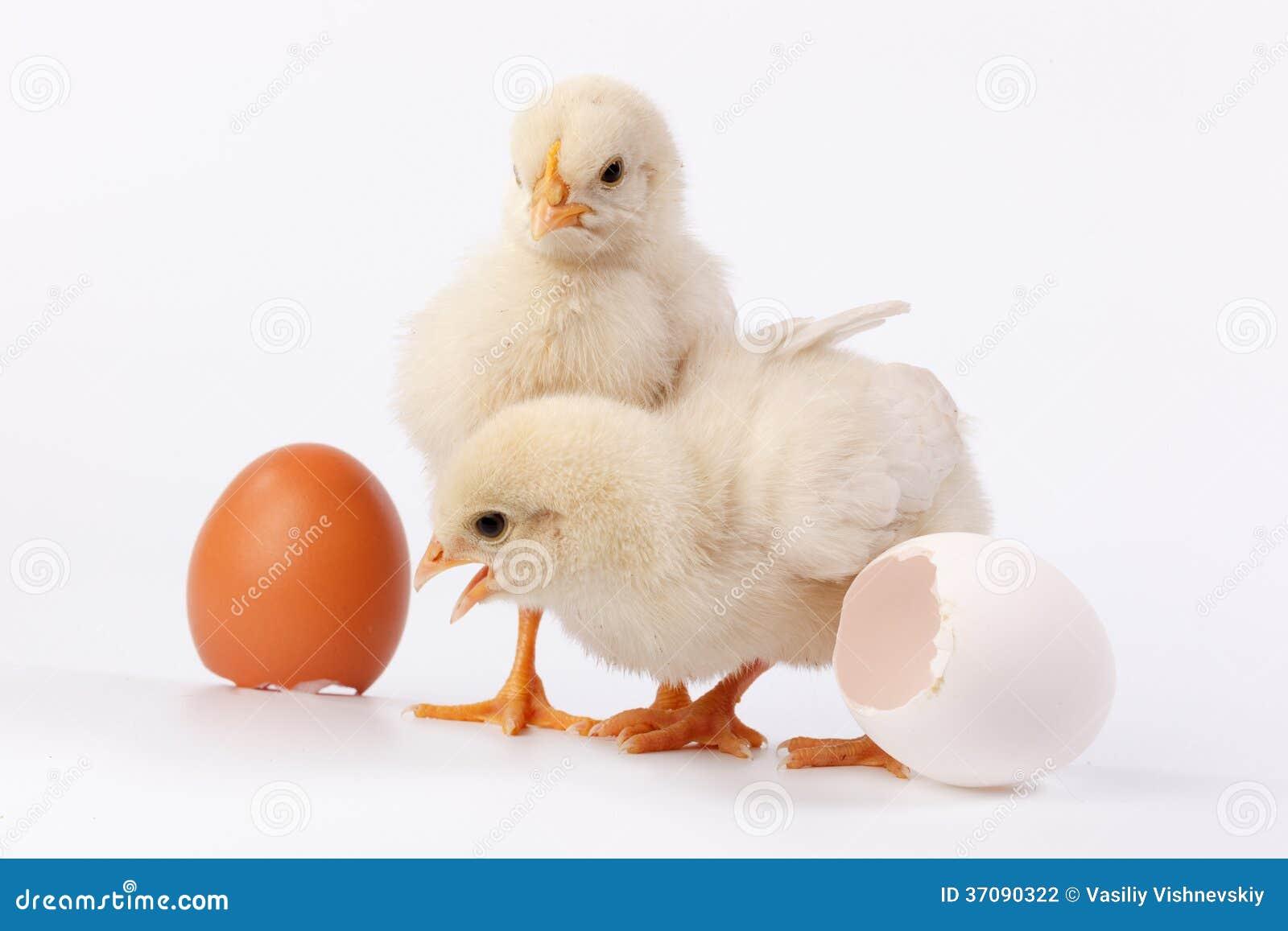 Download Kurczak zdjęcie stock. Obraz złożonej z dzieciństwo, potomstwa - 37090322