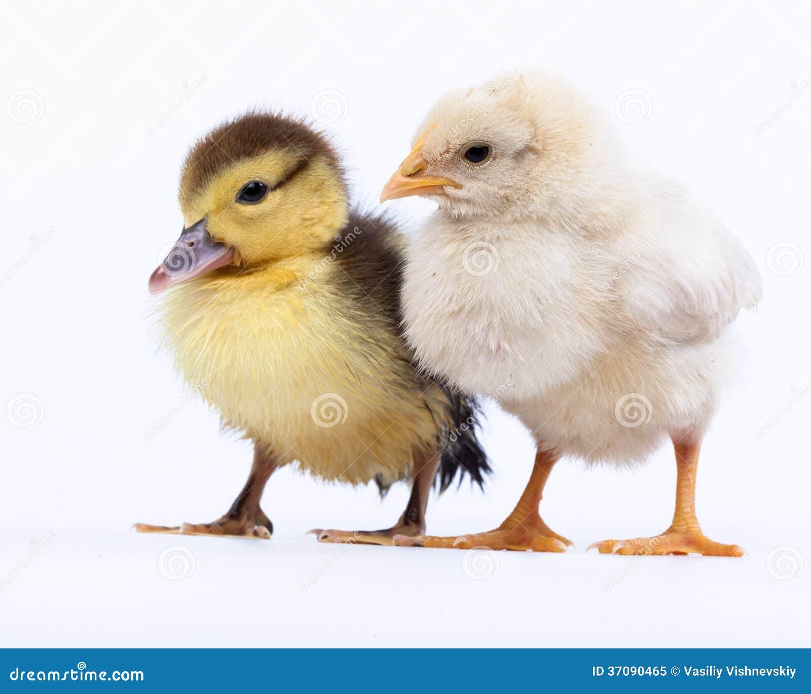 Download Kurczak i kaczątko obraz stock. Obraz złożonej z unieśmiertelniony - 37090465