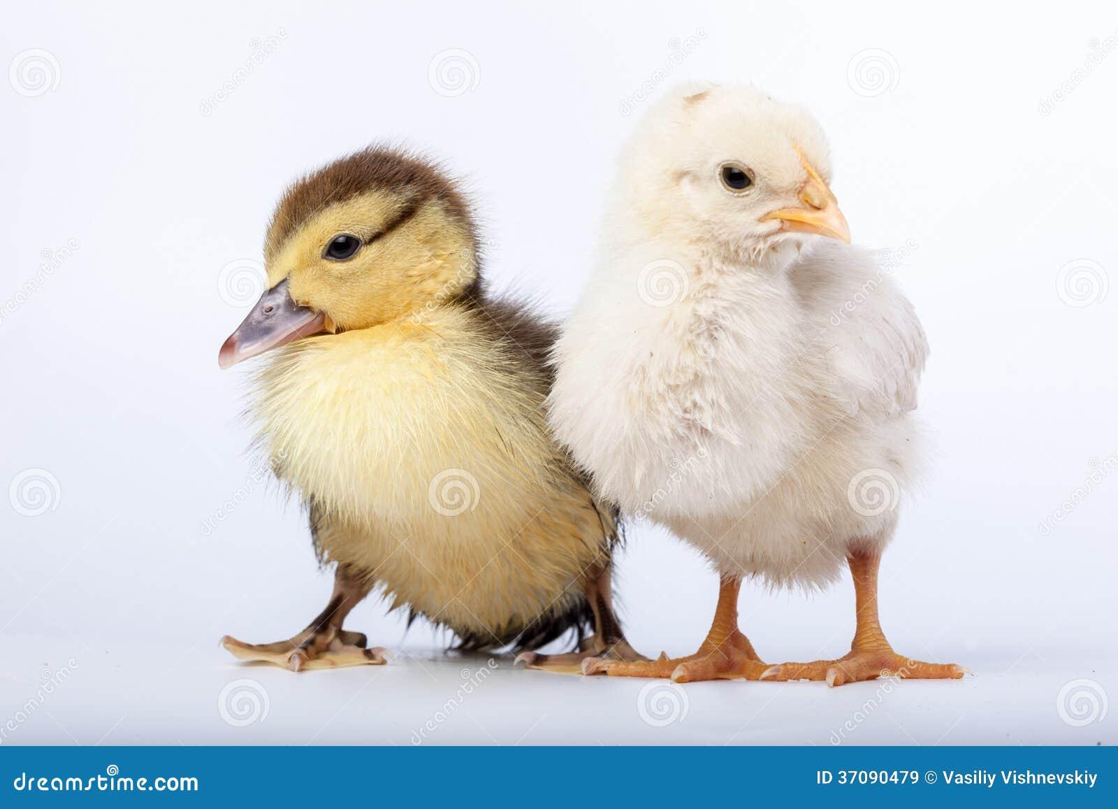 Download Kurczak i kaczątko obraz stock. Obraz złożonej z dziecko - 37090479