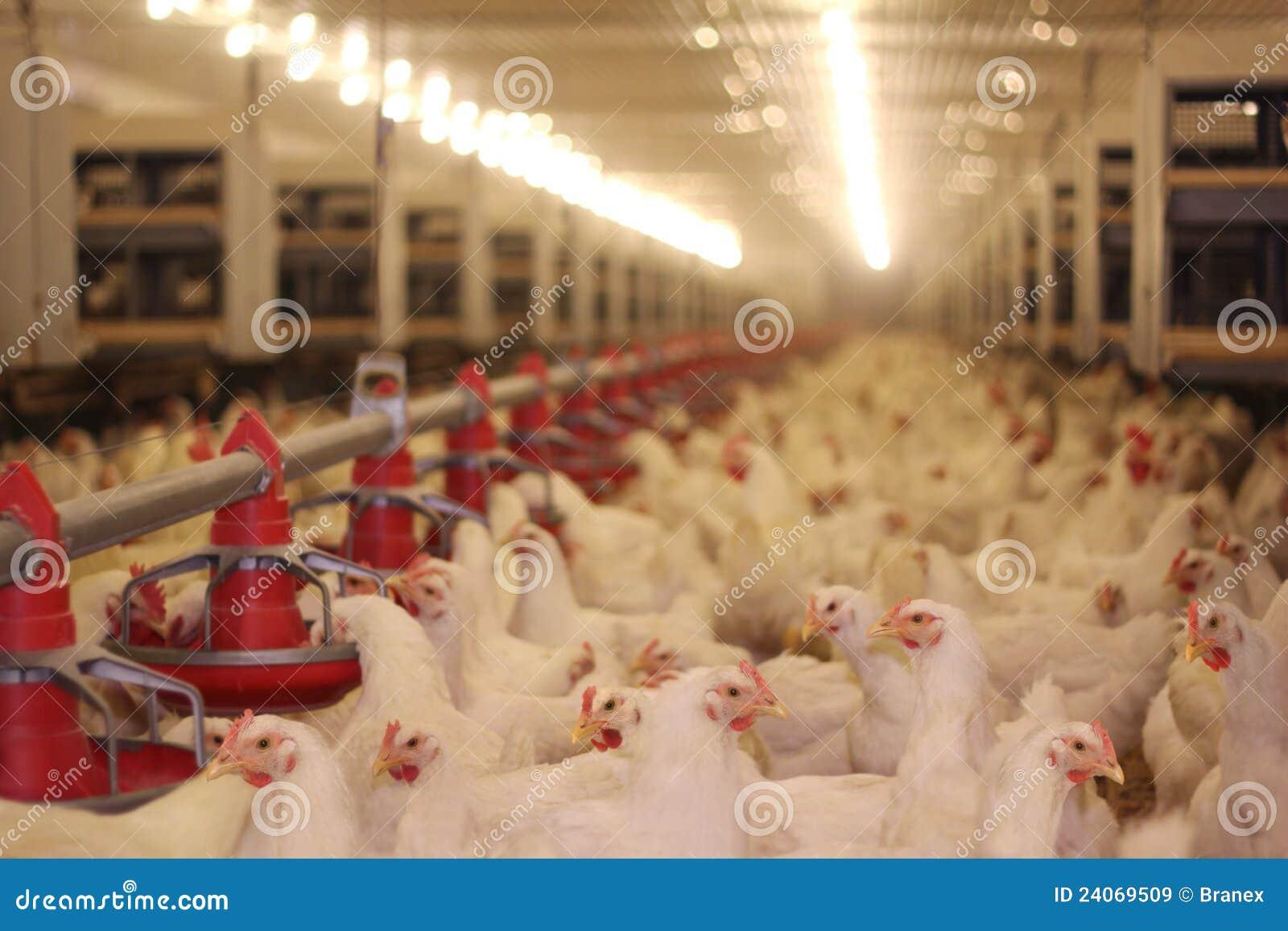 Kurczaka gospodarstwo rolne