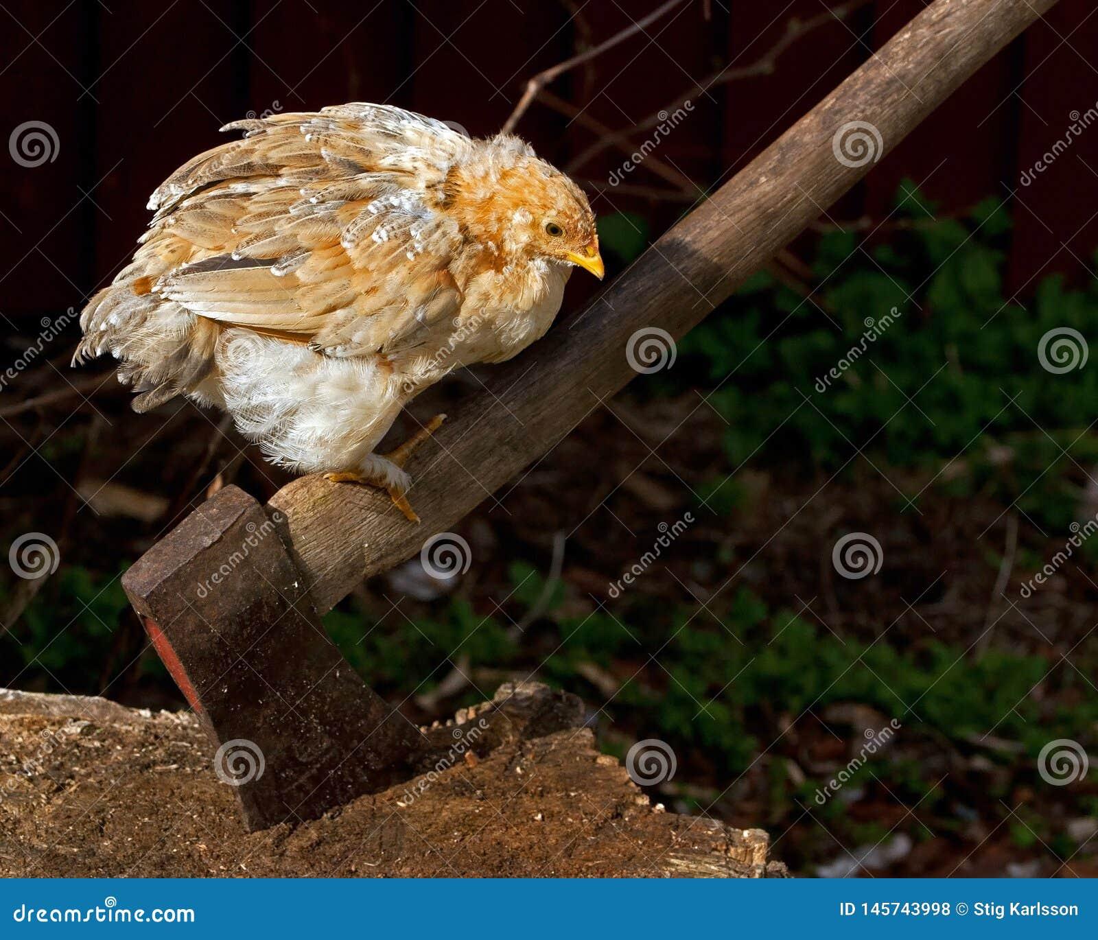 Kurczaka narastający czekanie dostawać prawą płeć