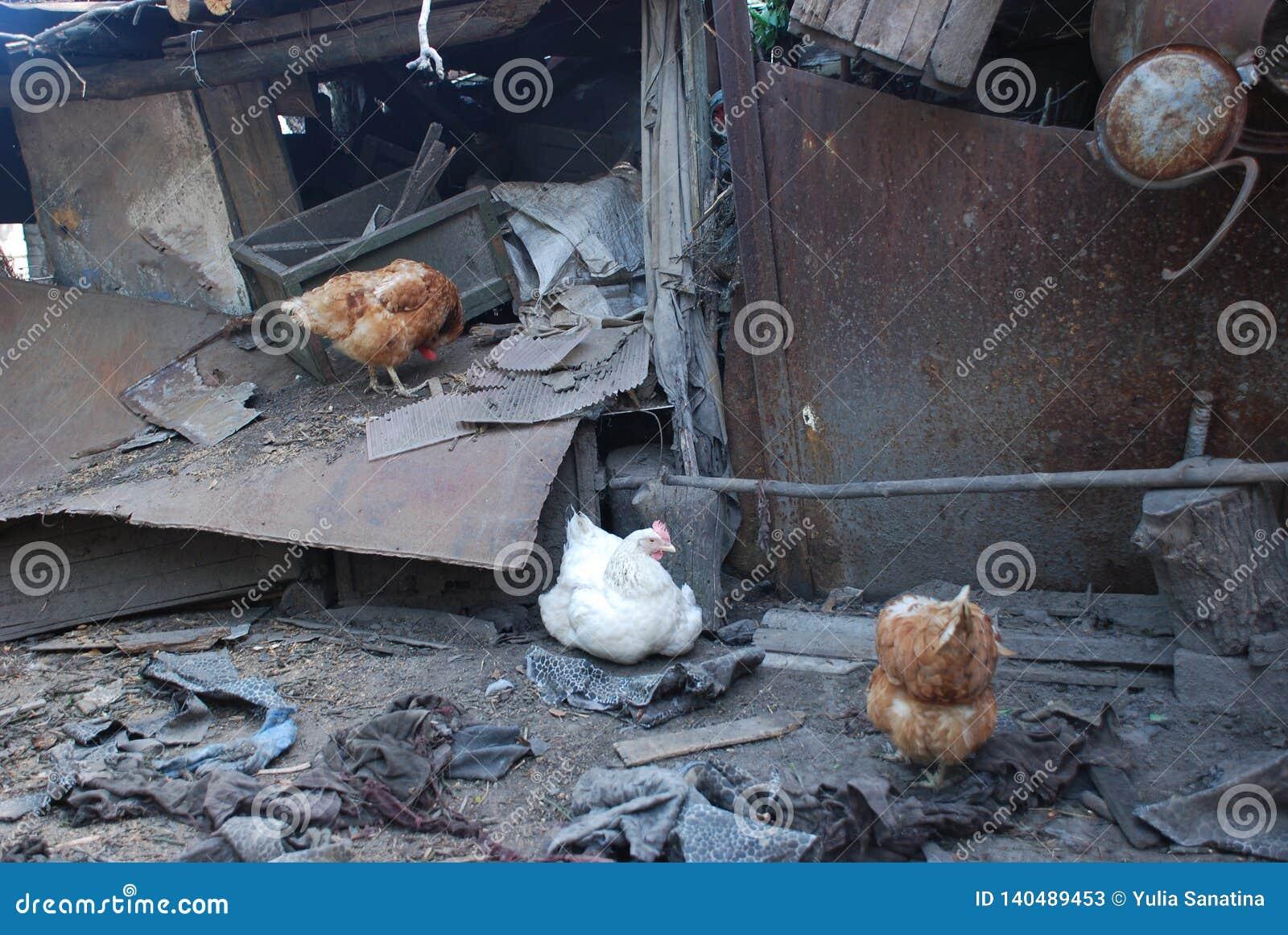 Kurczaki żyje w zniszczonym domu w lecie