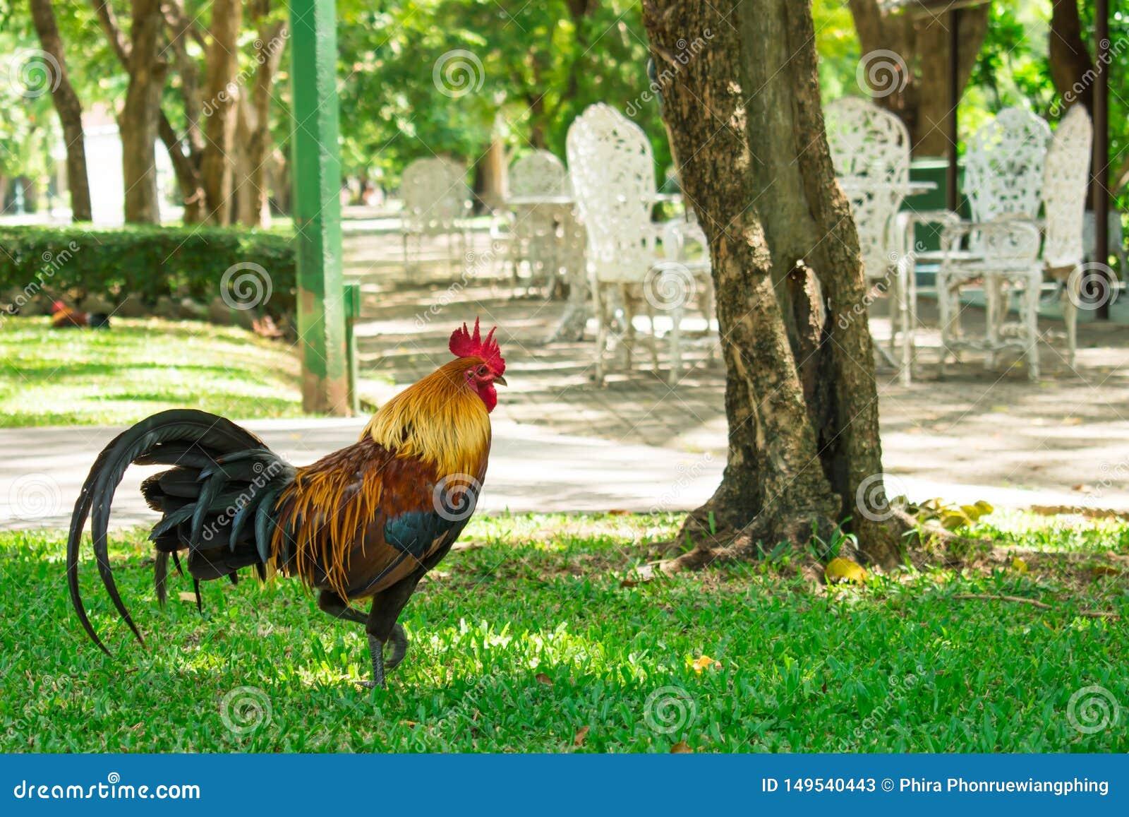Kurczaki chodzi w parku Naturalny t?o