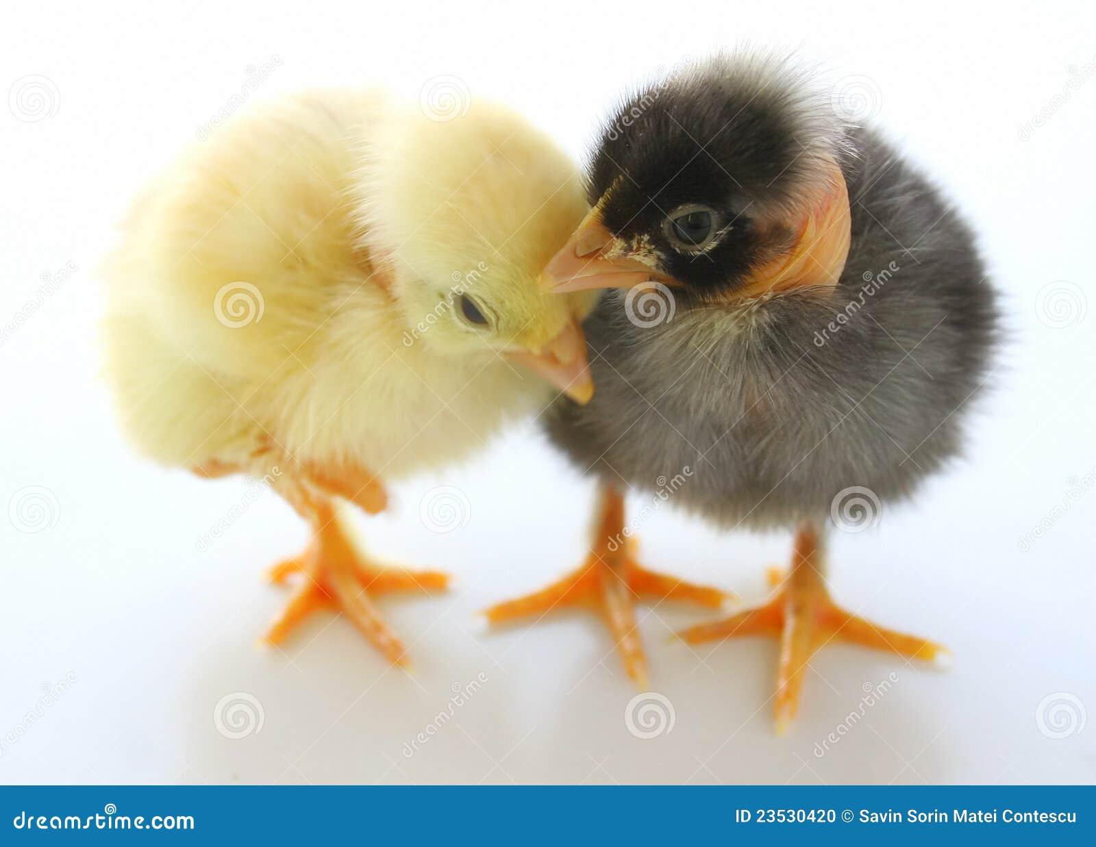 Kurczaki trochę dwa