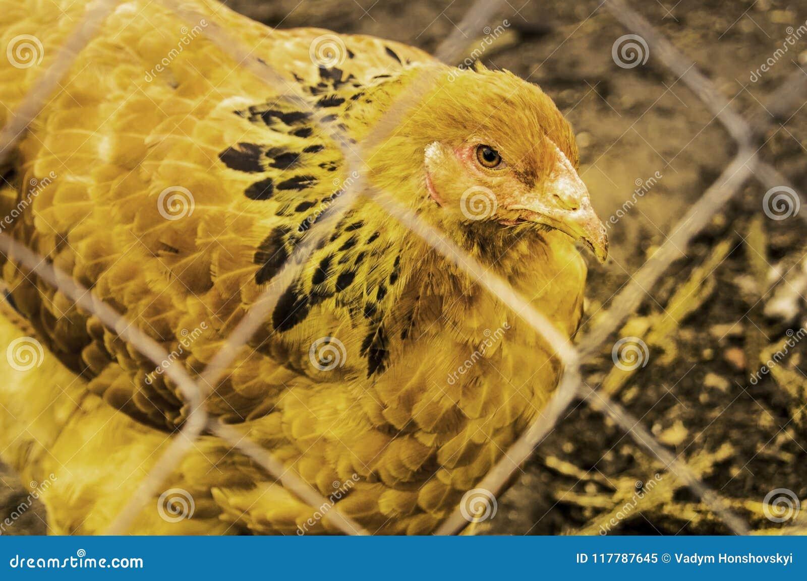 Kurczaki w górę trakenu Brahma