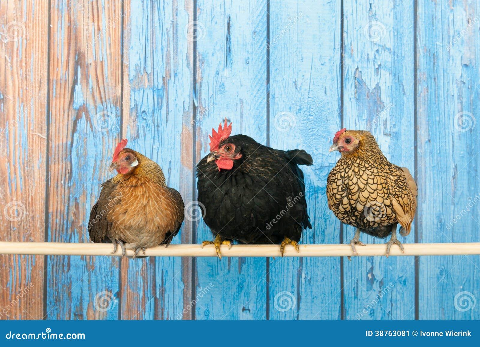 Kurczaki w henhouse
