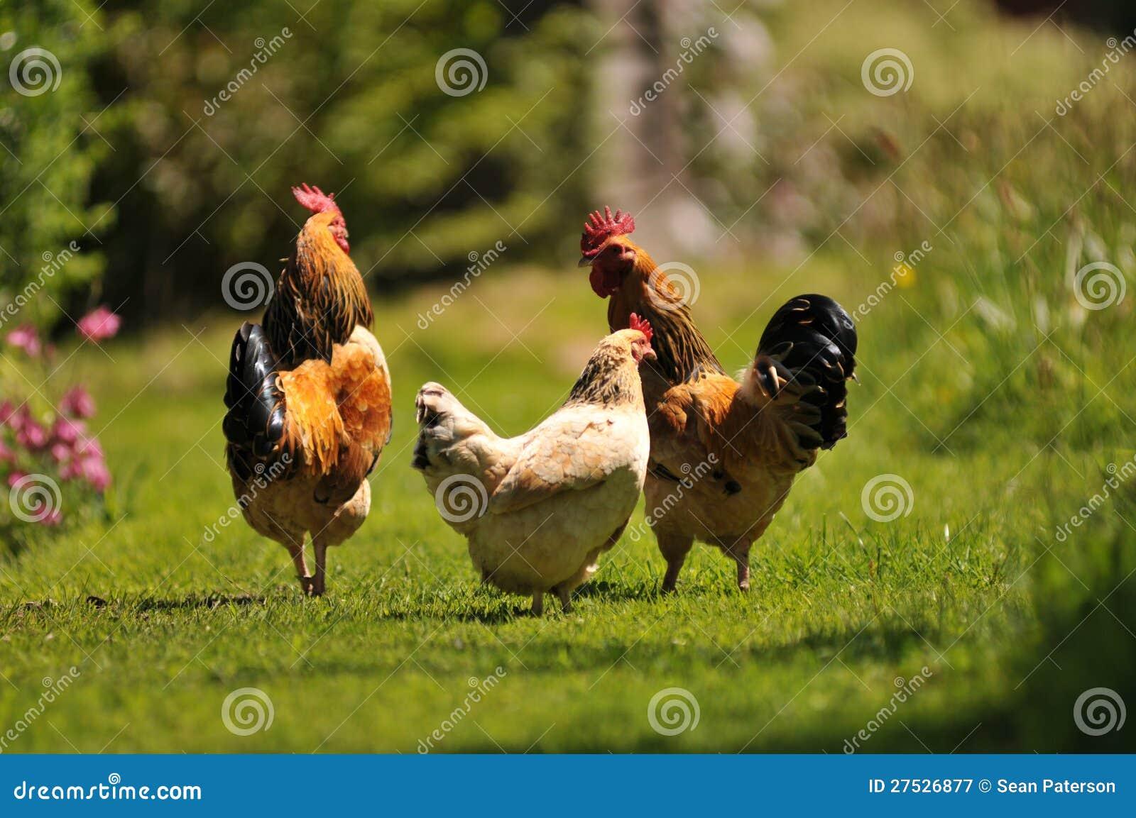 Kurczaki w Ogródzie