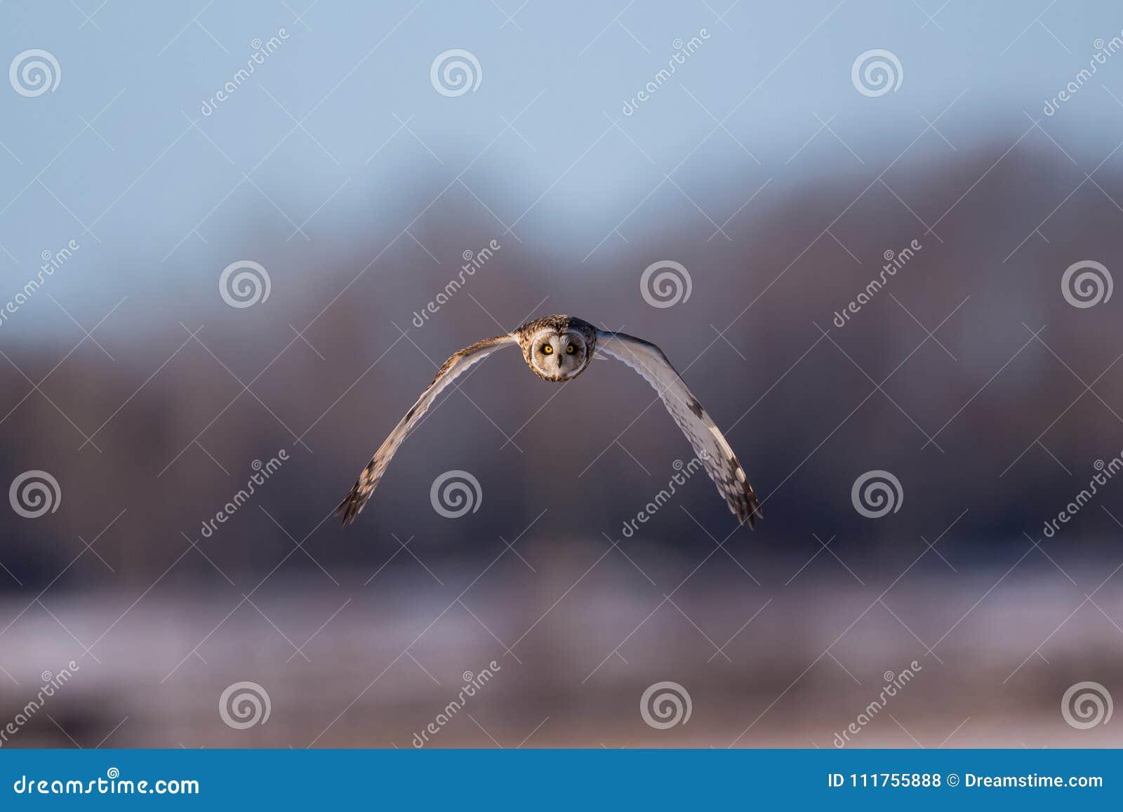 Kurzohriges Owl Frontal