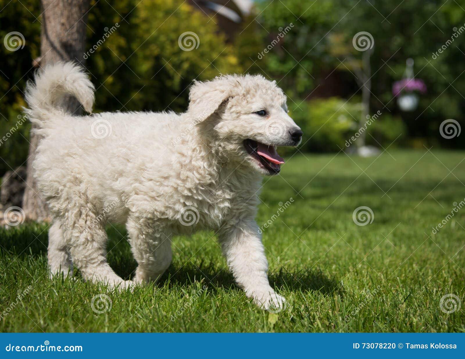 Kuvasz Puppy Stock Photo Image Of Field Hungarian Kuvasz 73078220