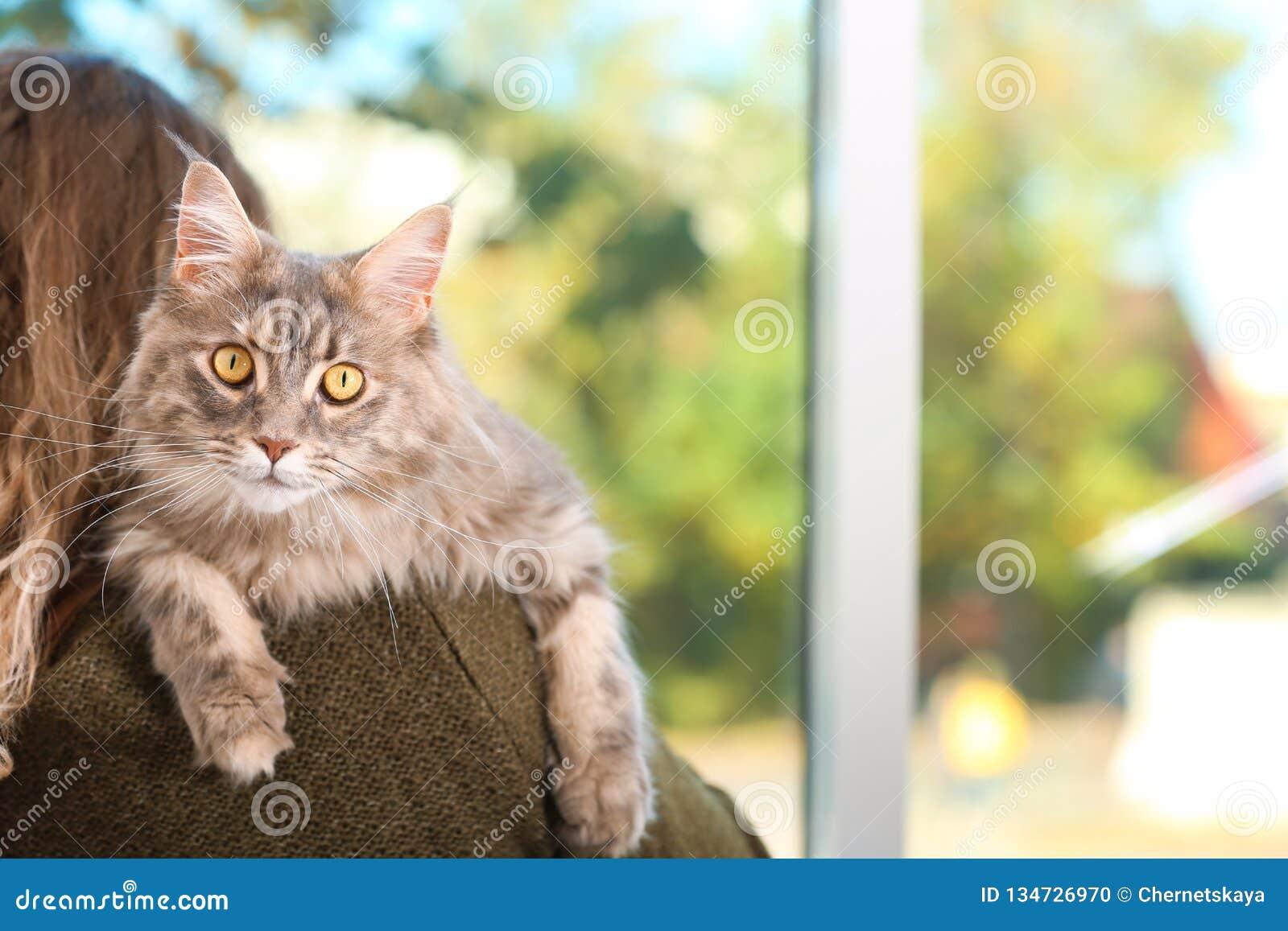 Kvinna med den förtjusande Maine Coon katten hemma, closeup