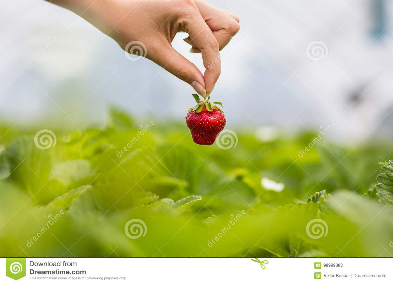 Kvinna som rymmer en saftig biten jordgubbe in i kameran, strawber