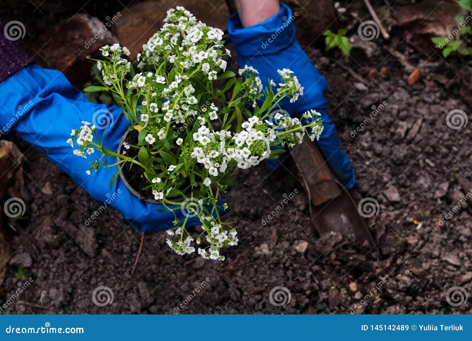 Kvinnah?nder som planterar en v?xt f?r vita blommor i tr?dg?rden Arbeta i tr?dg?rden arbete i v?rtid