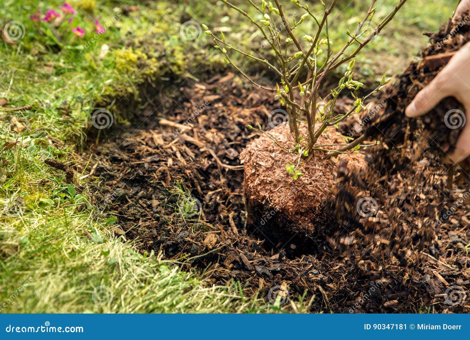Kvinnan fördelar skällkomposttäckning runt om en blåbärbuske