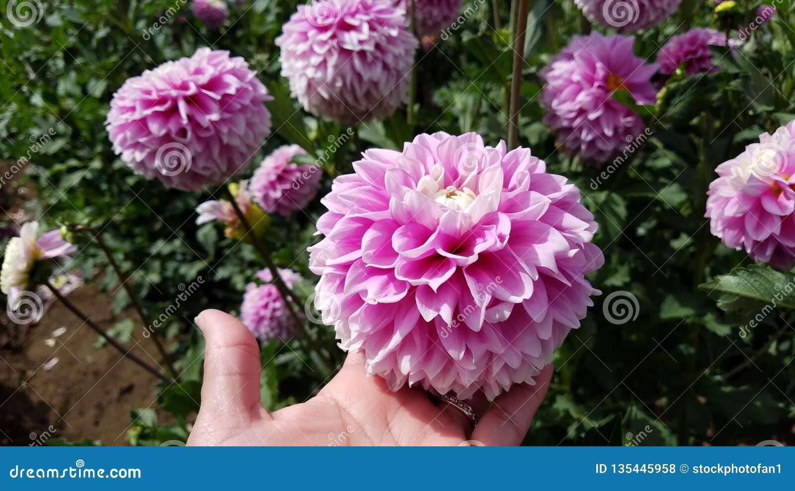 Kvinnas hand med växten för guld- och diamantcirkelinnehav med rosa blommor och gröna sidor