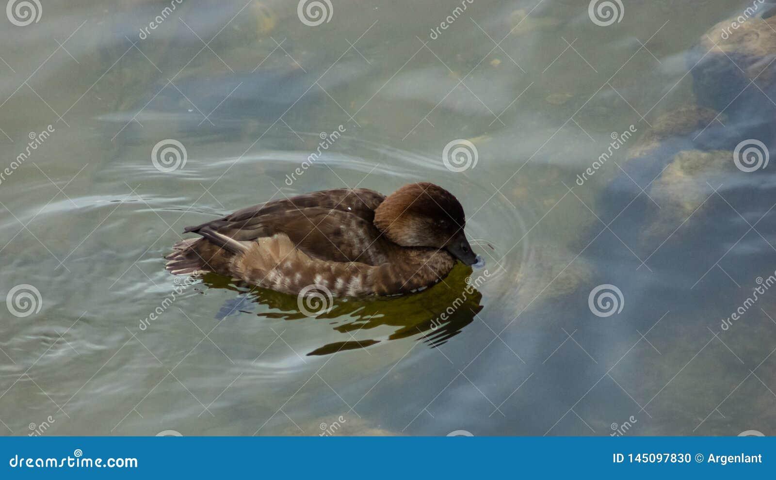 Kvinnlig av f?r pochard- eller Aythyaferinan?rbild f?r dyka and gemensam simning f?r st?ende i floden, selektiv fokus, grund DOF