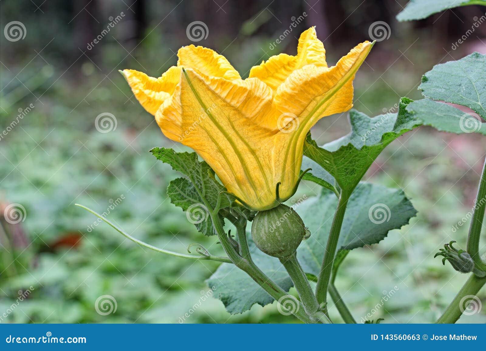 Kvinnlig blomma för pumpa på vinranka