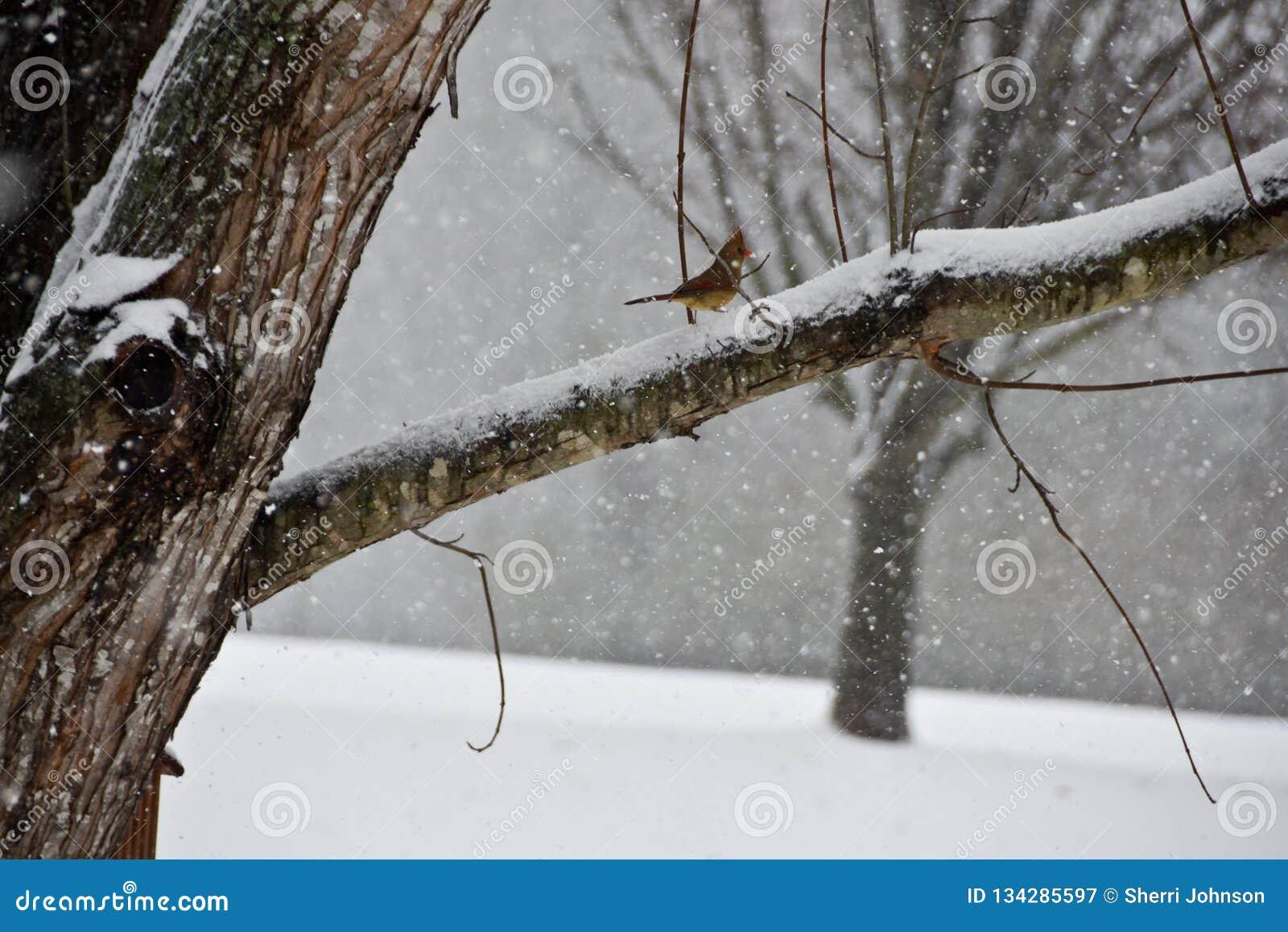 Kvinnlig kardinal Perched på en filial i en snöstorm