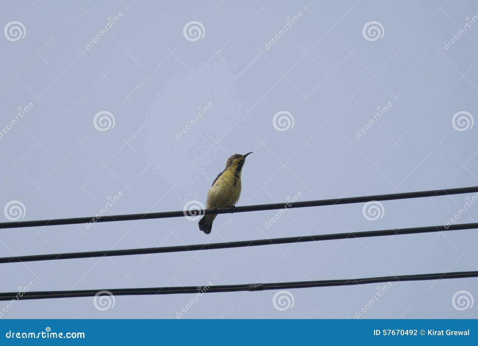 Kvinnlig Oliv-dragen tillbaka sunbird