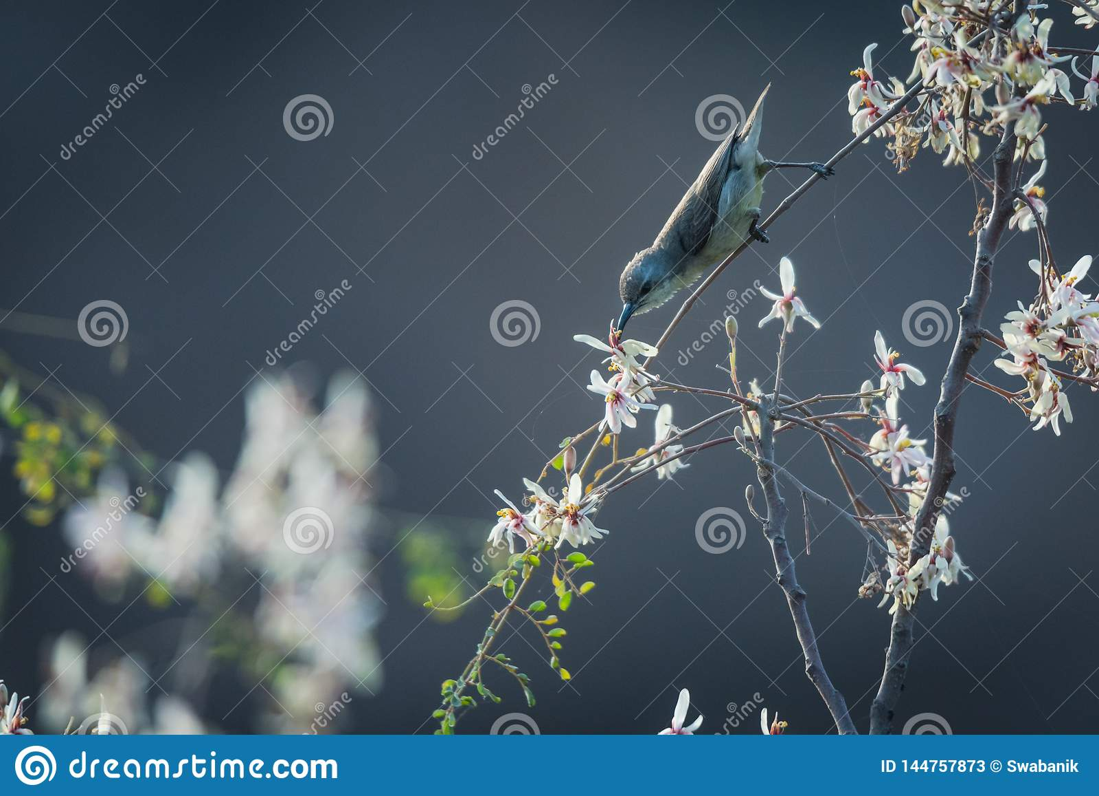 Kvinnlig sunbird som nectaring