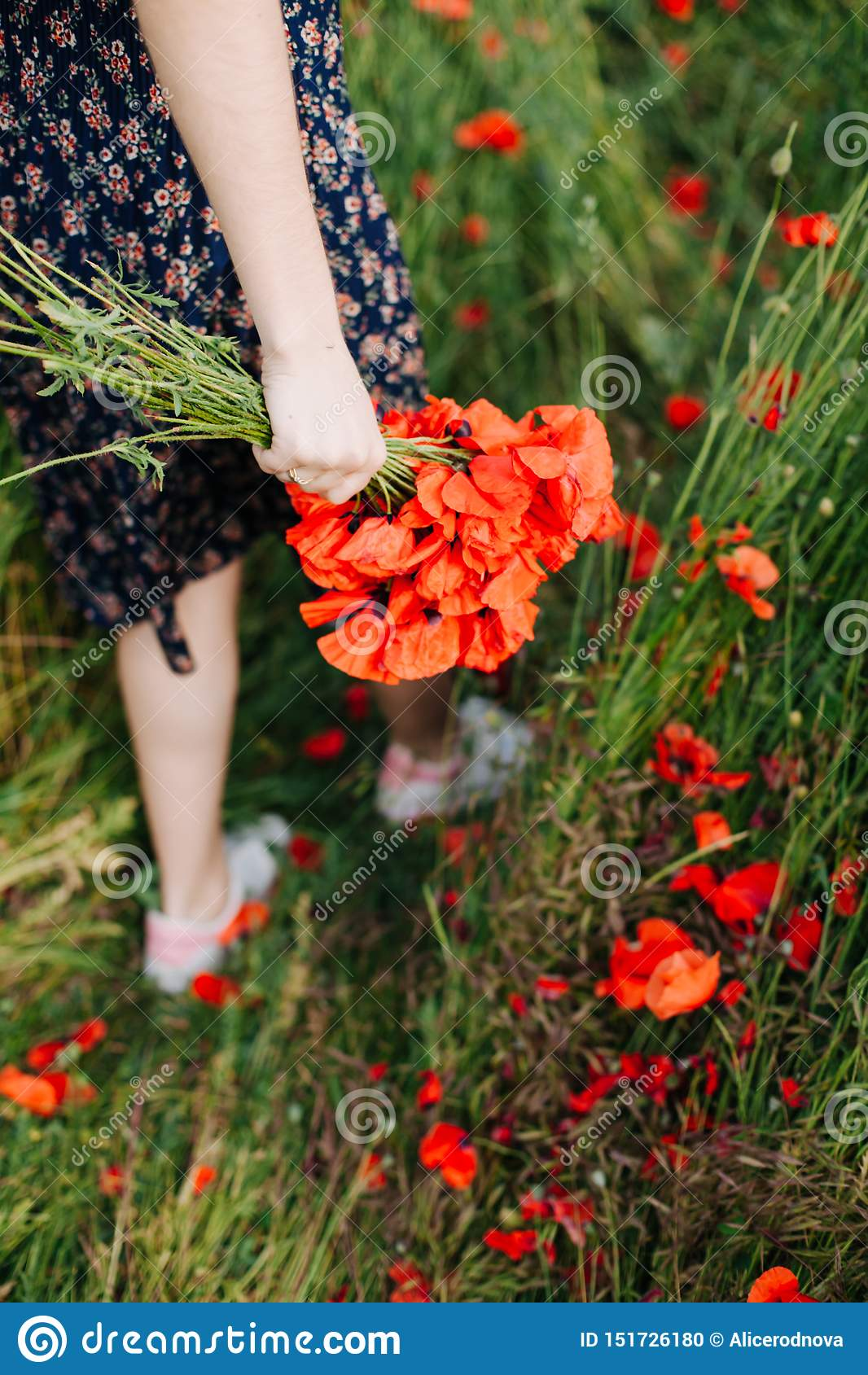 Kvinnliga händer som rymmer en bukett av den röda vallmo