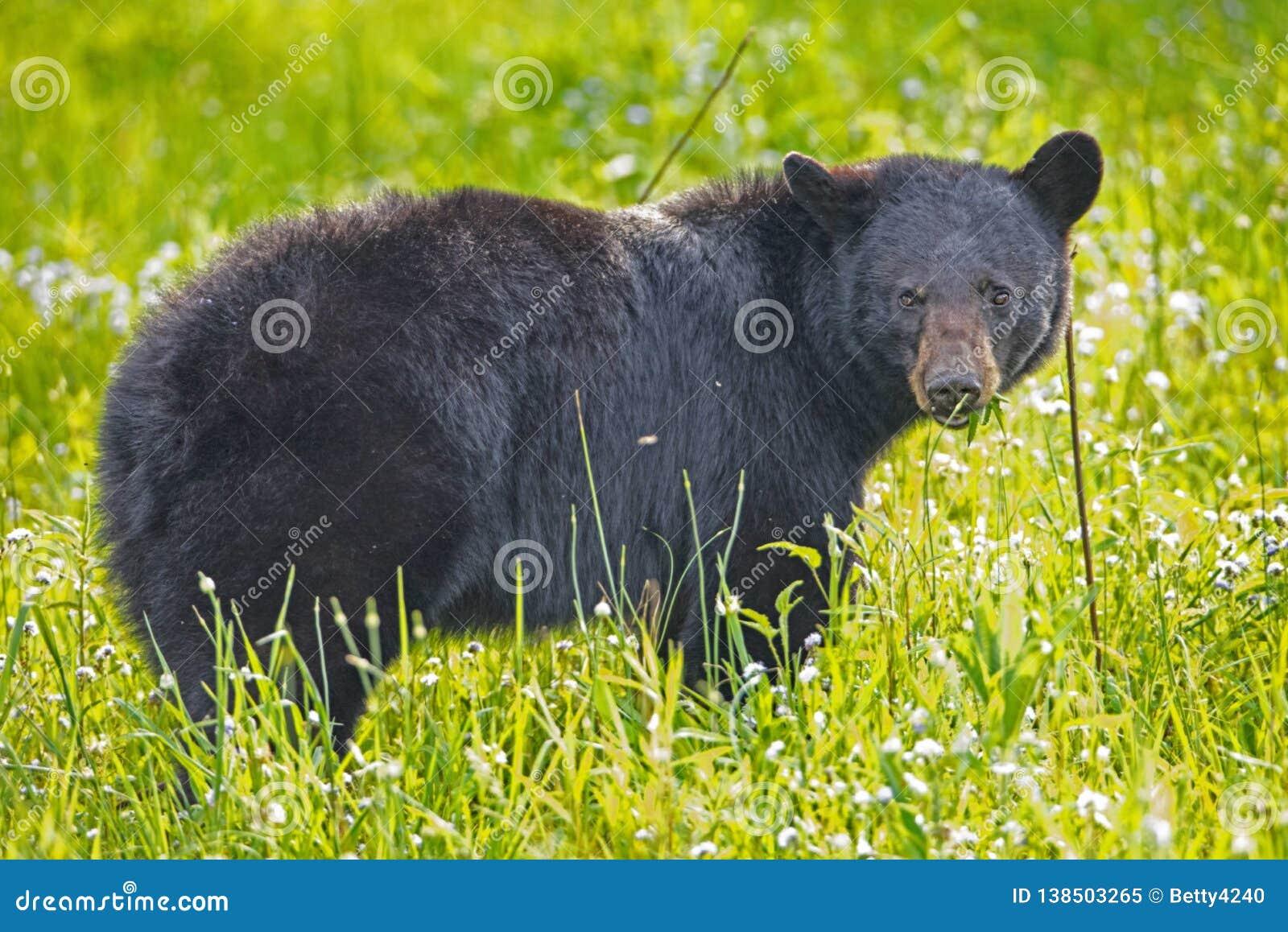 Kvinnliga matningar för en svart björn på grönt gräs