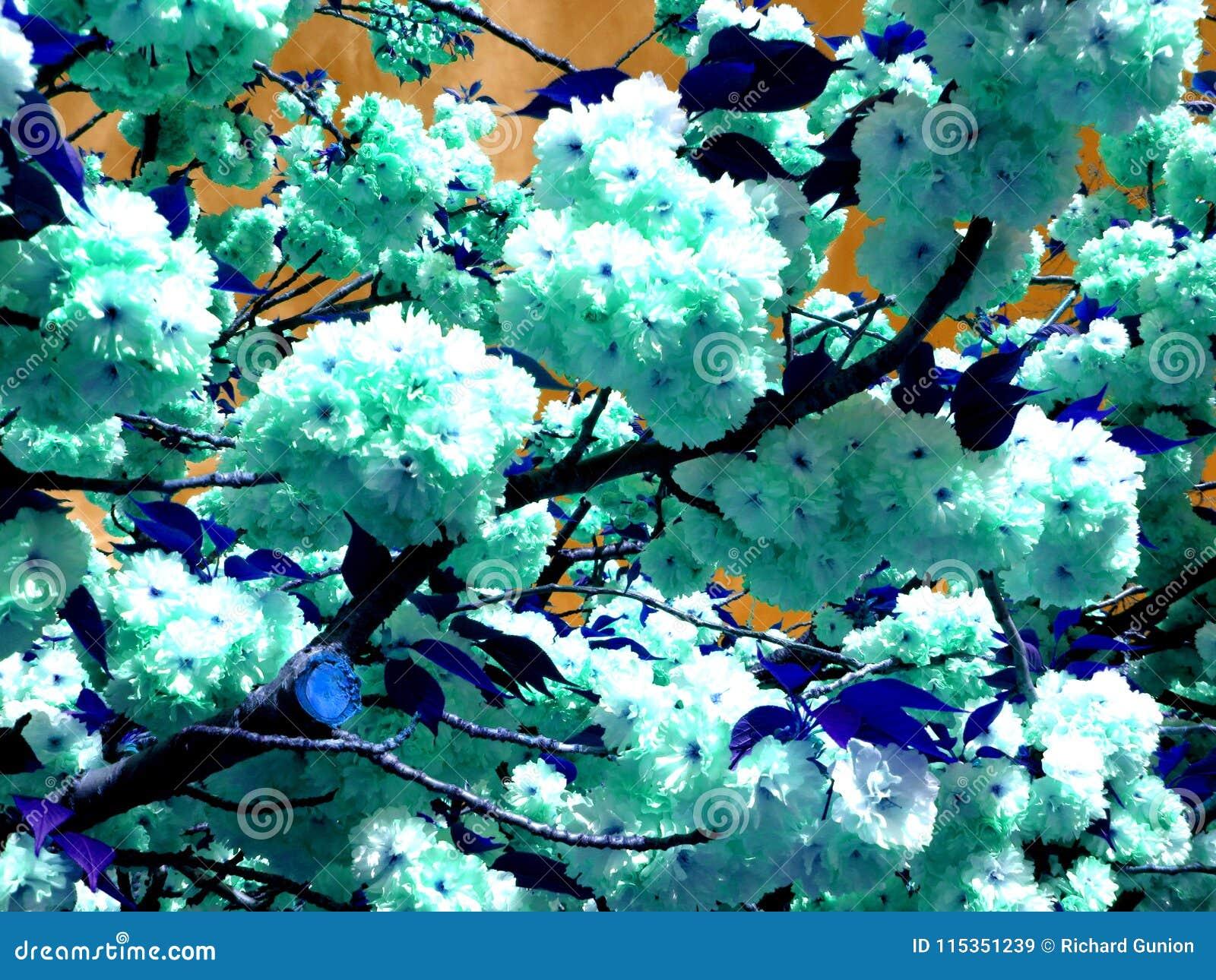 Kwanzan abstrait Cherry Blossoms