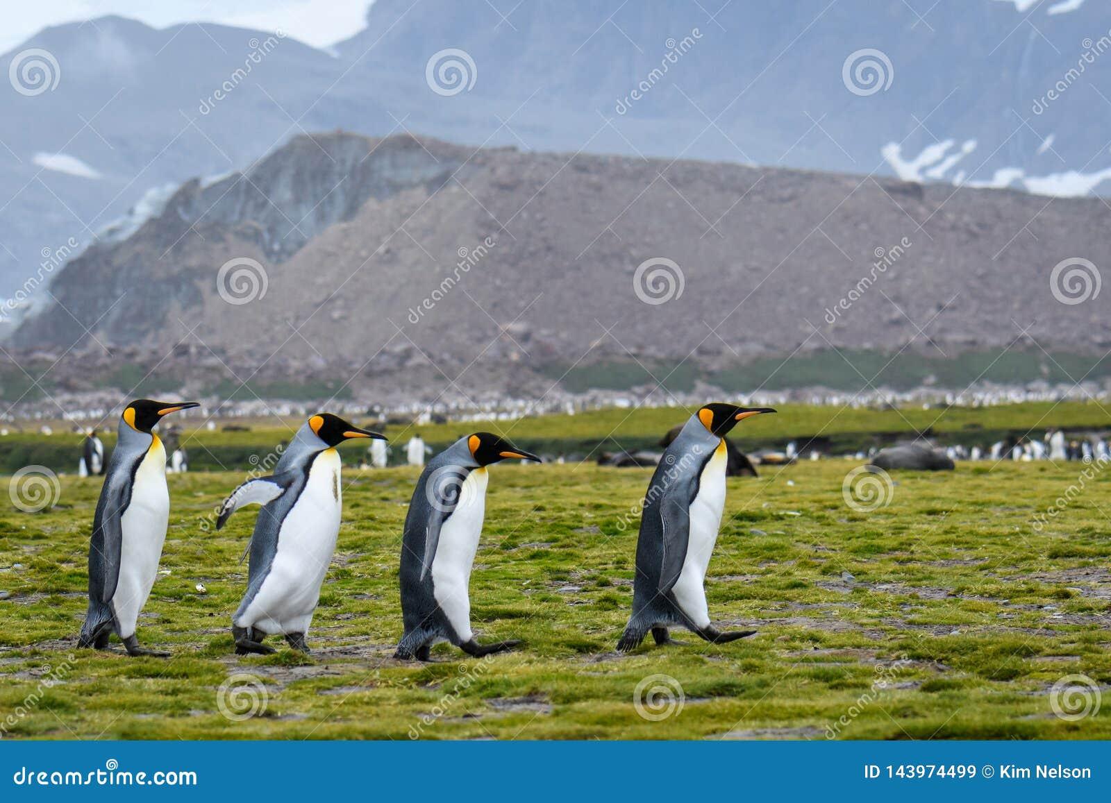 Kwartet van Koning Penguins die over de Vlakte van Salisbury, Zuid-Georgië marcheren