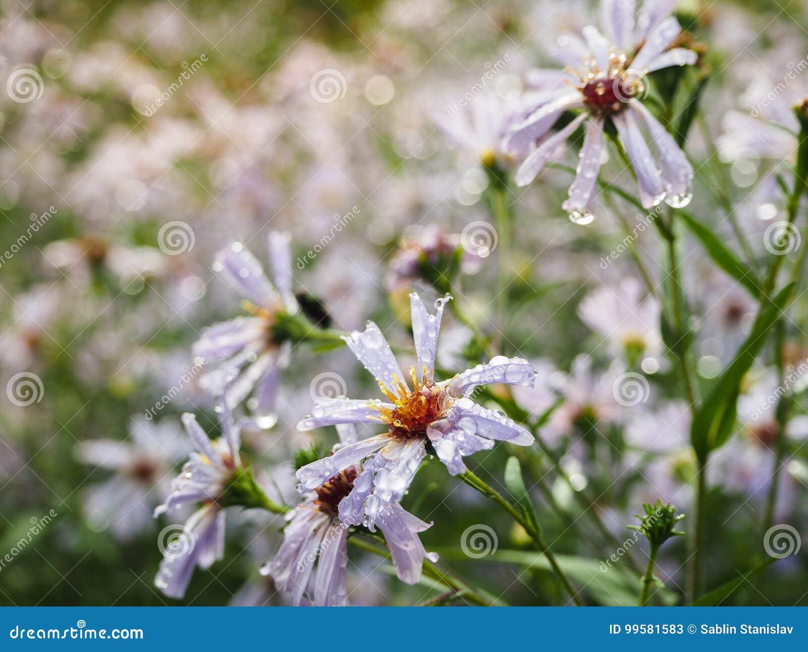 Kwiatów odwiecznie astery w jesień deszczu Kwitnie odwiecznie asteru serdtselistny