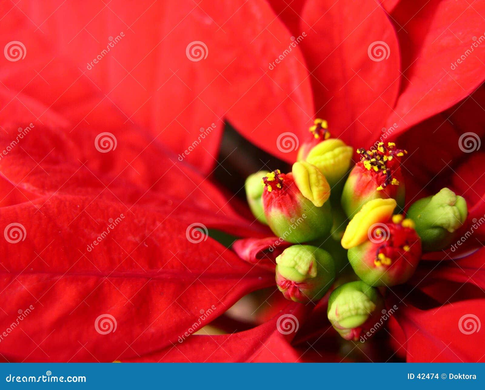 Kwiat bethlehem gwiazda
