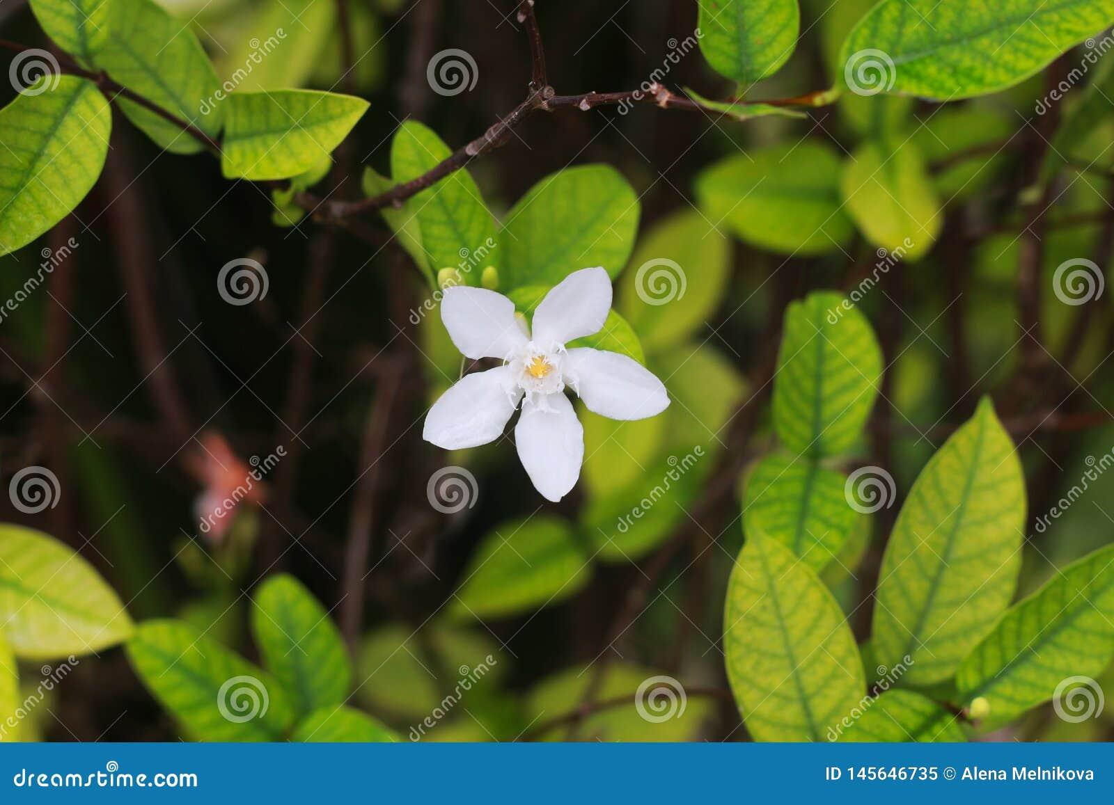 Kwiat cytrusa drzewo