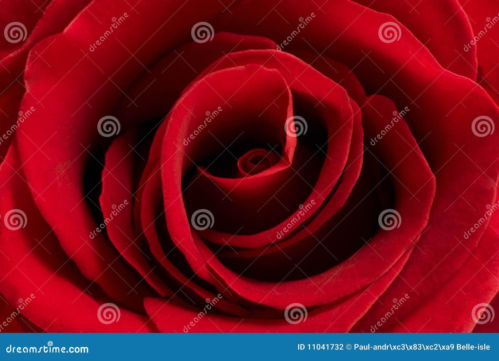 Kwiat czerwień wzrastał
