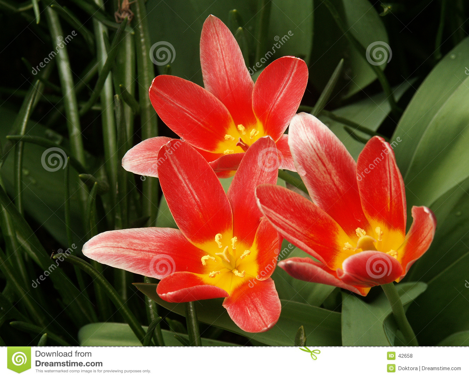 Kwiat czerwonej tulipanów