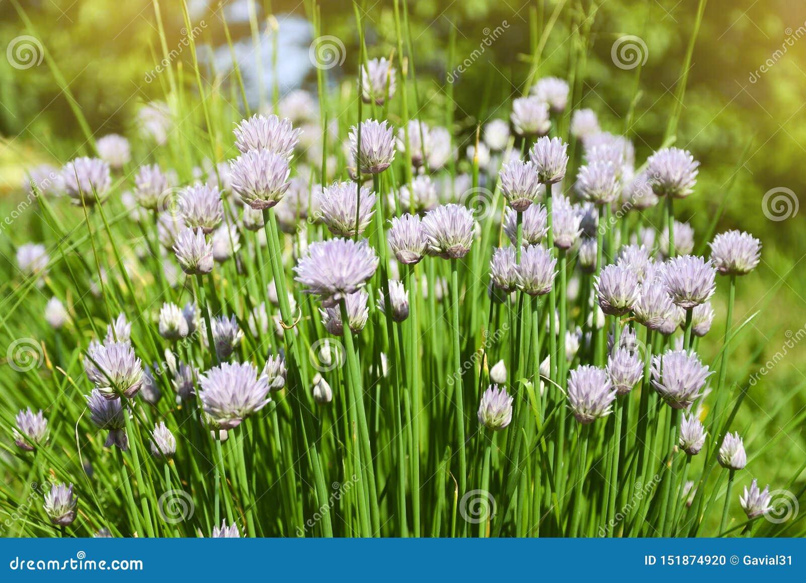 Kwiat dekoracyjna cebula Zako?czenie fio?kowe cebule kwitnie na lata polu Pi?kne kwitnie cebule Czosnk?w kwiaty