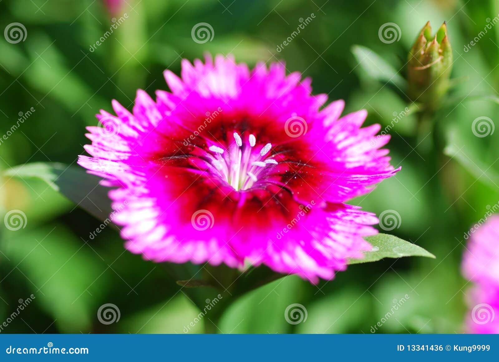 Kwiat dianthus kwiat