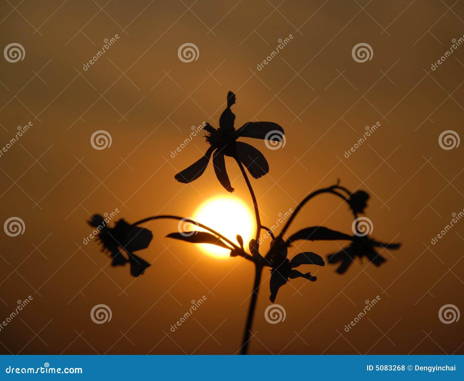 Kwiat dziki zachód słońca