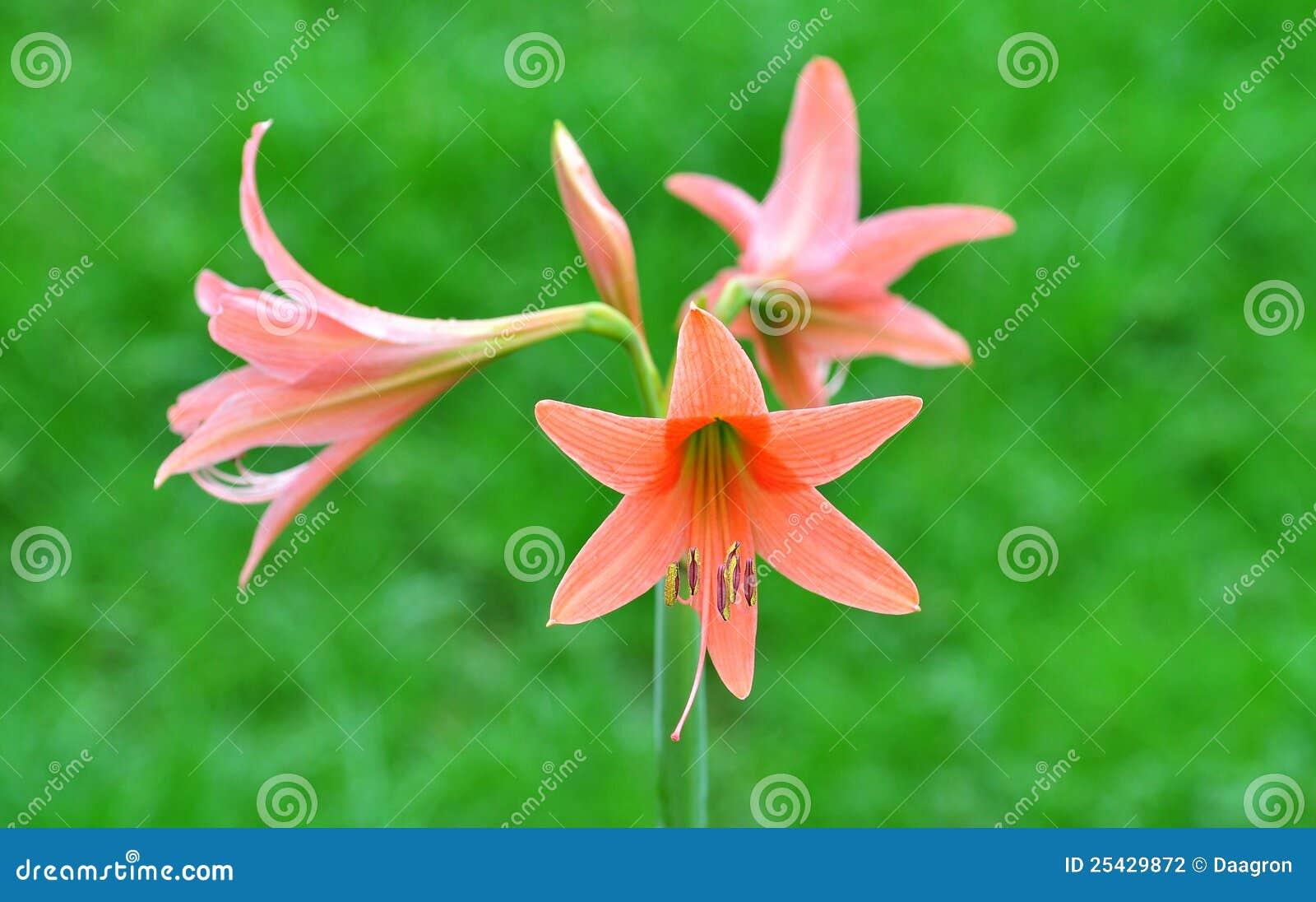 Kwiat egzotyczne menchie