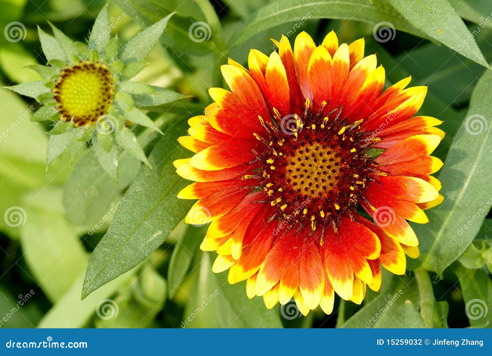 Kwiat galardia