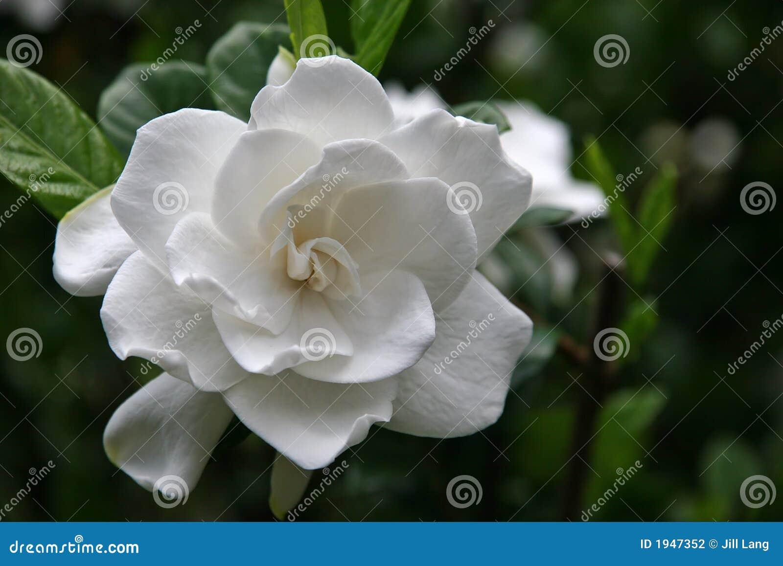 Kwiat gardenia