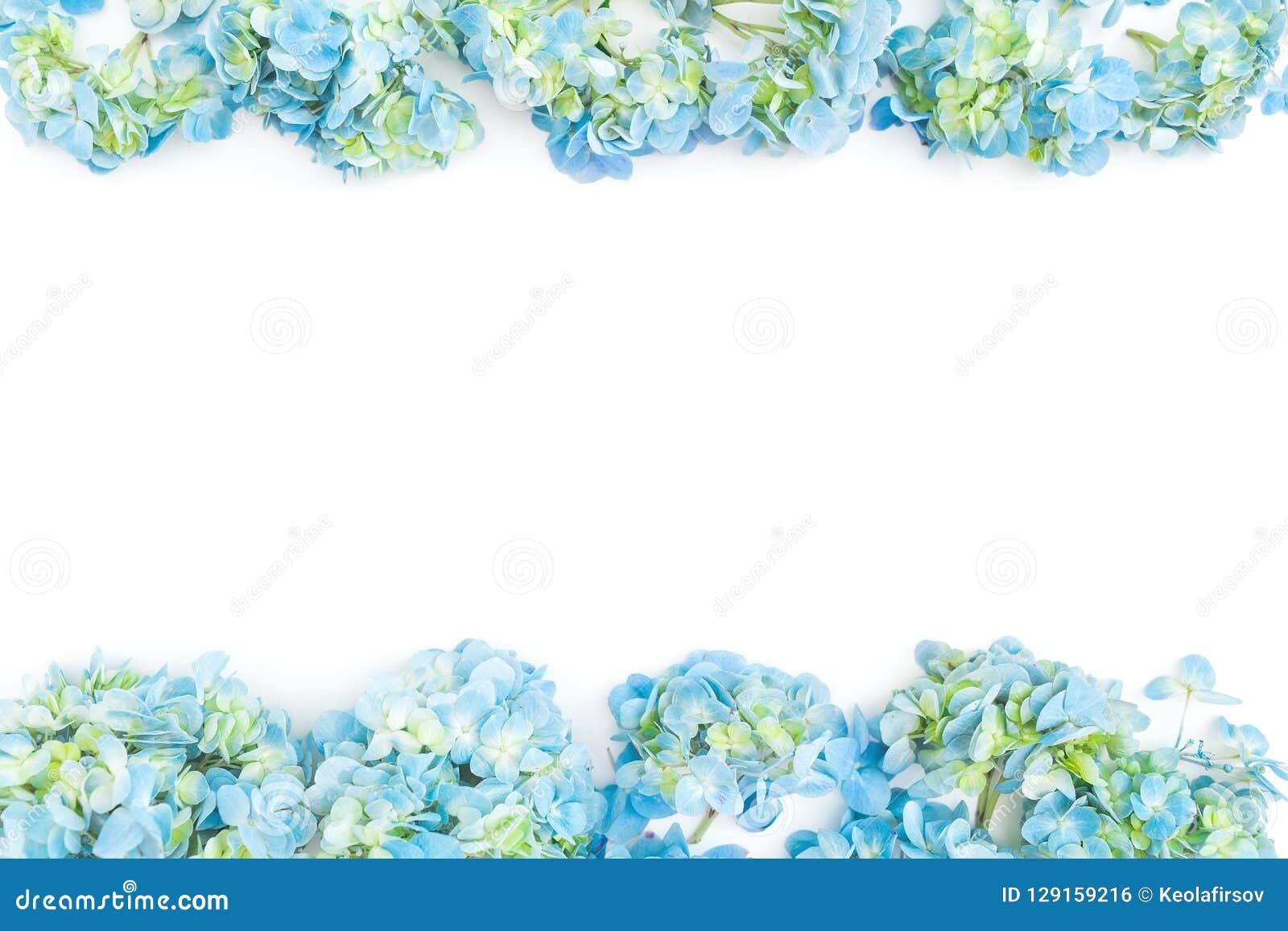 Kwiat granicy rama błękitna hortensja kwitnie na białym tle Mieszkanie nieatutowy, odgórny widok szczegółowy rysunek kwiecisty po