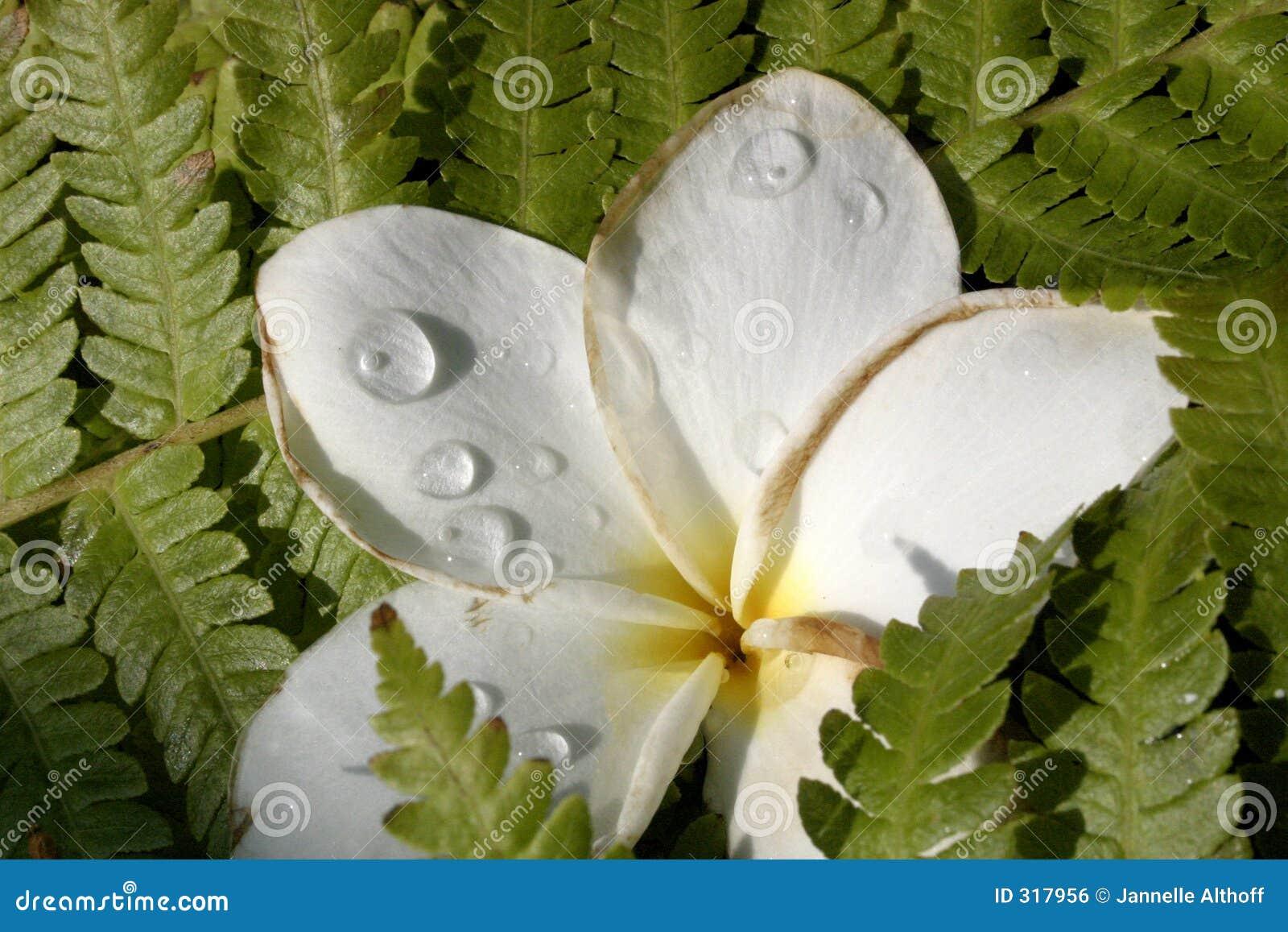 Kwiat hawaiin kropla deszczu
