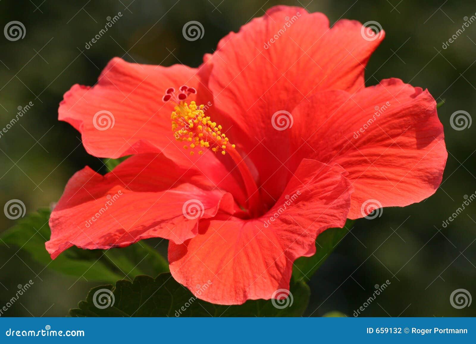 Kwiat hibiskus rose Sharon